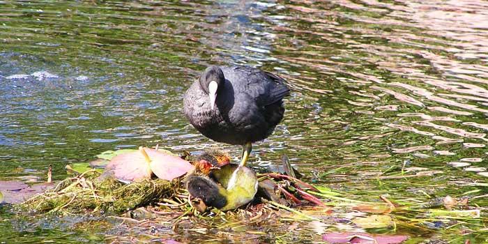 Nederlandse Watervogels Kijken Tips en Informatie