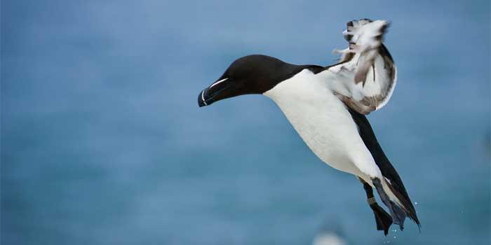 Nederlandse Zeevogels Kijken Tips en Informatie - Alk